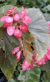 begonia lucerna