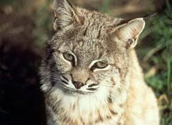 north american wild cats