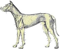 canine lymph glands