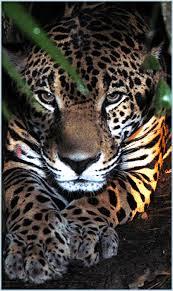 jaguars cats