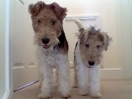 fox terriers wire