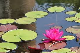 nymphaea water lily