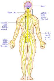 human anatomy nerves