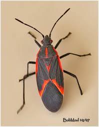 box elder bug picture