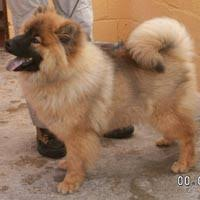 eurasier pups