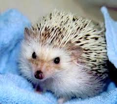 hedgehog babies for sale