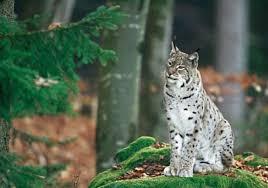 ALP 03 672 458 resize Fotografato nel Parco di Paneveggio un esemplare di lince (Lynx lynx)