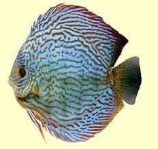 discus fish pictures