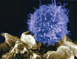 http://t0.gstatic.com/images?q=tbn:LZbEDOhB6vTqLM:http://www.daviddarling.info/images/T-lymphocyte.jpg&t=1