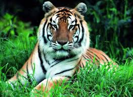 pictures of wild tigers