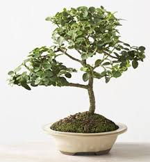 natal plum bonsai