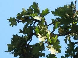 oak tree species