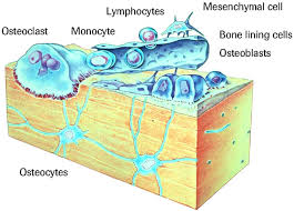 bone cell structure