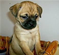 puggle puppies pictures