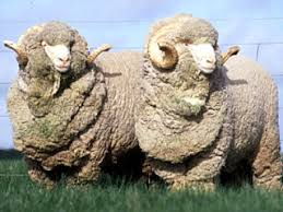 australian merino sheep