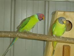 plum head parrot