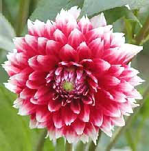 mexican flower