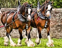 pictures of clydesdale horses