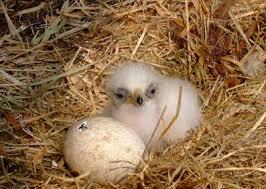 golden eagle nests