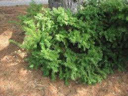 evergreen bush