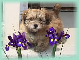 toy havanese puppies