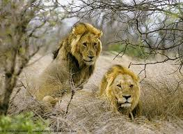 lions pictures