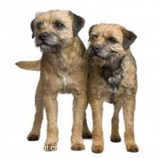 border terriers dogs