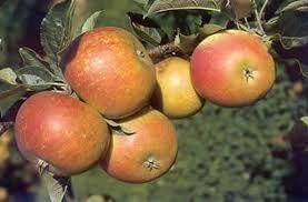 cox orange pippin apple