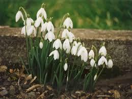 snowdrops flowers