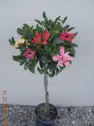 braided hibiscus tree