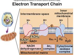 inner membrane of mitochondria