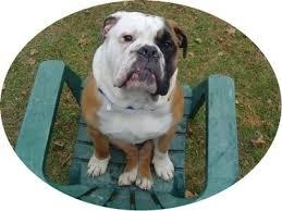 english american bulldog
