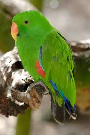 eclectus pictures
