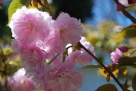 kwanzan japanese flowering cherry