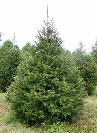 norway pine tree