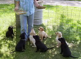 hunting lab puppies