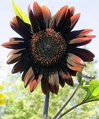 chocolate colored flowers
