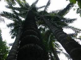pohon palm