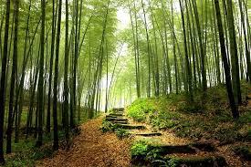 la foret de bambous
