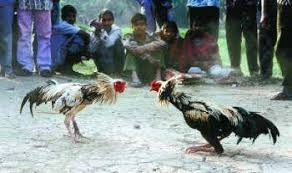 rooster fights