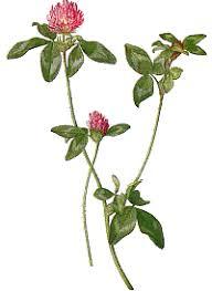 clovers plants