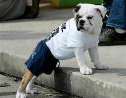 bull dog pictures