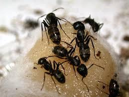 carpenter ants pictures