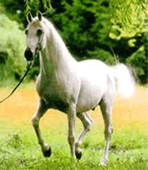 arabian horse breeds