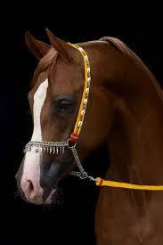 horse show halters