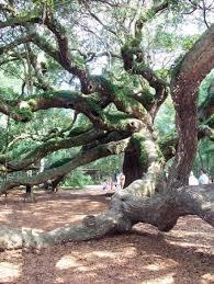 live oak trees
