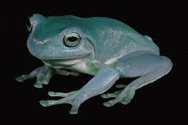 blue dumpy tree frog