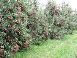 dwarf apples