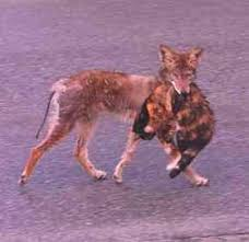 animal coyotes