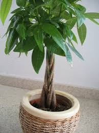 indoor potted trees